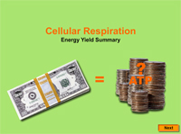 Summary of Energy Yield During Cellular Respiration