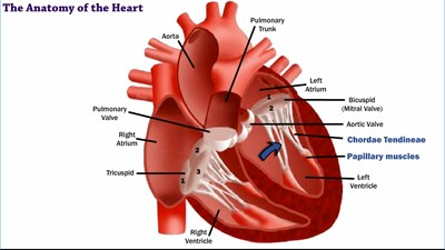 The Anatomy of the Heart (Video)