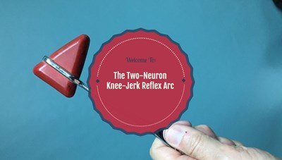 The Two-Neuron Knee-Jerk Reflex Arc