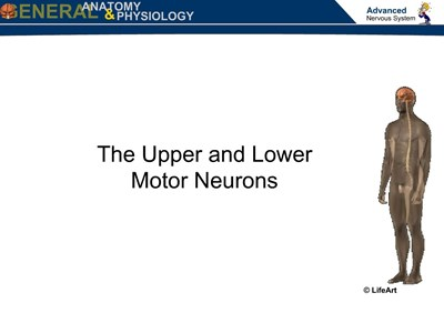 The Upper and Lower Motor Neurons (Screencast)