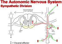 The Autonomic Nervous System - Sympathetic Division