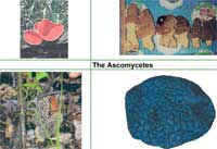 The Ascomycetes