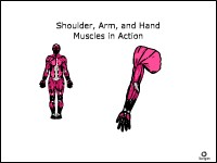 Shoulder, Arm, and Hand Muscles in Action