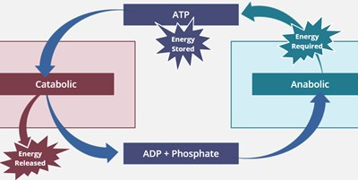 Metabolic Pathways (Screencast)