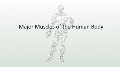Major Muscles of the Human Body (Screencast)